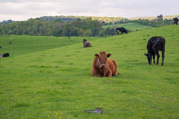 about-huntlands-farm-working-farm-cows