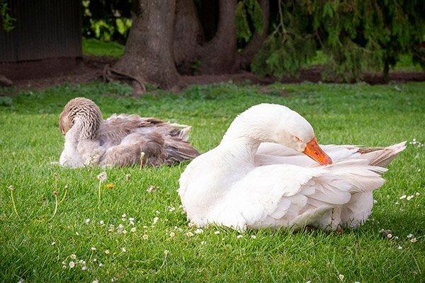 about-huntlands-farm-working-farm-goose